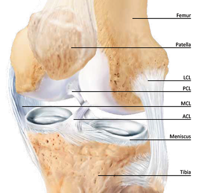 knee anatomy including meniscus, ACL, and PCL