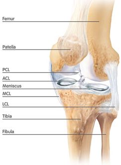 Knee Anatomy image to show the femur, tibia and patella