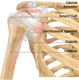Anatomy and function of the shoulder